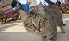 Cyprus 2018. . . (CWhatPhotos) Tags: cwhatphotos 2018 april cat feline pussy raggy ears ear torn blue water sky skies digital camera pictures picture image images photo photos foto fotos that have which contain olympus seafront golden coast beach holiday sea deep color colour 43 micro four thirds penf protaras cyprus eastern