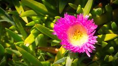 Coastal Flower (mpb_17) Tags: flowers