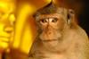 ,, The Look ,, (Jon in Thailand) Tags: wildlife wildlifephotography monkeybuddha monkeyeyes monkeymouth wildmonkey primate ape thestaredown nikon d300 nikkor 70300vr jungle cave yellow gold buddha monkeynose themonkeytemple monkeyears crazymonkey