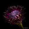 Poppy (Magda Banach) Tags: canon canon80d sigma150mmf28apomacrodghsm 3 blackbackground colors flora macro nature plants poppy purple