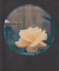 Rose (ifleming) Tags: expiredfilm sx70 sx70colourfilm polaroidsx70 polaroid impossibleproject rose