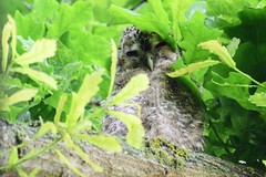 "Tawny owlet ""Strix aluco"" (Kay Musk) Tags: tawnyowl strixaluco owlet bird birdofprey wildlife wild nature nikond3200 goldwildlife 2018 ngc"