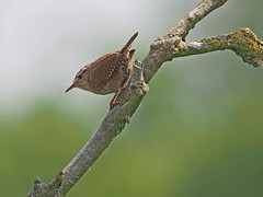 Wren....Attenborough Nature Reserve (Scuba`Steve`) Tags: