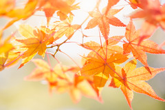 Autumn maple leaves natural background colorful foliage (Patrick Foto ;)) Tags: abstract autumn background beautiful beauty blurred branch bright canada canadian closeup color colorful day decoration fall falling flag floral focus foliage forest frame leaf leaves light maple montreal natural nature orange pattern photo plant purple red season sky spring sun sunlight sunny sunset texture tourism travel tree wallpaper white yellow kyōtoshi kyōtofu japan jp