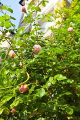 Rose Bush @ SE22 (Adam Swaine) Tags: roses eastdulwich nature naturelovers canon flowers flower flora seasons beautiful london street homes gardens rosegardens uk southeast