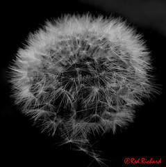 Dandelion (red.richard) Tags: dandelion seeds bw monochrome macro