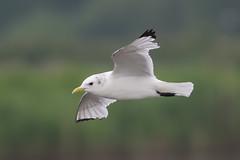 Minsmere flying Kittiwake