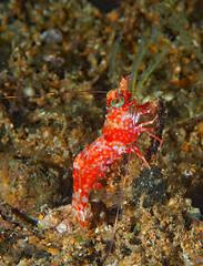 Cool little Shrimp called Metapenaeopsis lamellata (oceanzam) Tags: shrimp scuba diving nature life shadow color colorful ravel holiday fish coral reef water underwater ocean sea beach shore shoreline sand tropical macro marine muck night dive philippines