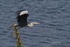 Fin de l'envol . (PACHA23) Tags: baiedesomme fauna wildlife faune viesauvage zancuda wadingbird échassier lagune héron