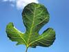 Feigenblatt (VenusTraum) Tags: feigenblatt fig leaf party sky himmel grün green blau natur nature
