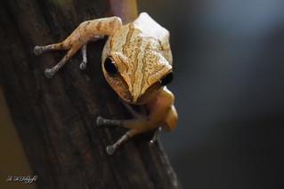 Hong Kong Whipping Frog