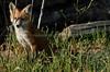 EdenLanding_060318_199 (kwongphotography) Tags: edenlandingecologicalreserve edenlanding wildlife wildlifephotography nature naturephotography eastbayregionalparks hayward california ca calif redfox fox unitedstates