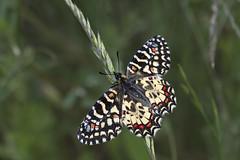 Papallona, _DSC1750_NKD500_Osona (Francesc //*//) Tags: papallona mariposa butterfly papillon insecte insecto insect macro macrofotografia osona natura naturaleza nature animal