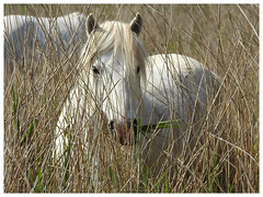 Equus ferus caballus - Camargue Horse (Vulpe Photographie) Tags: cheval nature horse camargue animal naturelovers normandie normandy france coolpix p900 nikon