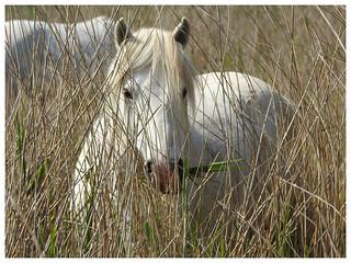 Equus ferus caballus - Camargue Horse
