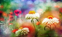 Garden (augustynbatko) Tags: garden flowers nature flower bokeh blur summer poppy macro briht grass