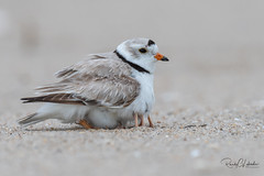 Piping Plover | 2018 - 25 (RGL_Photography) Tags: birding birds birdwatching charadriusmelodus chick endangeredspecies gardenstate gatewaynationalrecreationarea hatchling jerseyshore monmouthcounty mothernature newjersey nikonafs600mmf4gedvr nikond500 ornithology pipingplover plover sandyhook shorebirds us unitedstates wildlife wildlifephotography