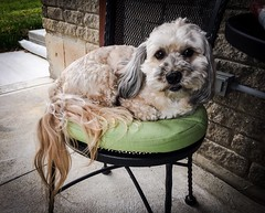 Cozy Café Chair (PEEJ0E) Tags: café pad chair iron cast spring outside pet rescue boy cute mutt dog maltese rusty