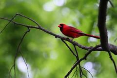 Northern cardinal (jimbop22001) Tags: