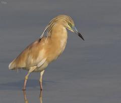 Garcilla cangrejera (Antonio Lorenzo Terrés) Tags: laguna garza garcilla cangrejera ave bird naturaleza parque natural nature ardeloa españa hondo fauna