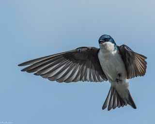 Tree Swallow [Tachycineta bicolor]