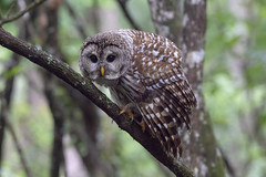 Barred Owl (DFChurch) Tags: corkscrew swamp audubon barred owl bird raptor nature animal wild wing naples florida strixvaria