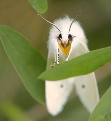 Skeptical Satin Moth (Kitty Kono) Tags: satinmoth white insect moth valleyforge kittyrileykono
