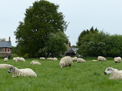 Sheep At Avebury (Marit Buelens) Tags: cottage house thatch lilacs meadow uk england nationaltrust avebury agriculture wiltshire fz200