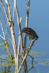Green heron juvenile (nrparsons) Tags: lakeapopkanorthshore apopka bird wildlife birding trail florida water lake smcpda300mmf40edifsdm aficionados butoridesvirescens
