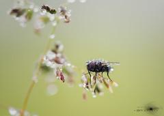 Aún dormida 2. (Javier Colmenero) Tags: alava nikon nikond7200 parquenaturaldegaraio sigma sigma105mm fly insect insecto macro macrophoto mosca