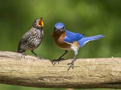 Eastern Bluebird, juvenile and male (AllHarts) Tags: easternbluebirds backyardbirds memphistn ngc naturesspirit thesunshinegroup
