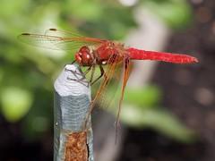 Cardinal Meadowhawk (piranhabros) Tags: cardinalmeadowhawk meadowhawk insect dragonfly animal red garden