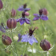 Dans la sarabande ***-- ---° (Titole) Tags: nigellededamas nigella nigelladamascena nigelle seedpod seeds blue purple titole nicolefaton gamesweepwinner storybookwinner thechallengefactory