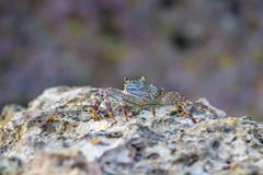 pretty colors... (Santanu Sen) Tags: animal crustacean crab purplecrab rock rockycoast beach seashore wild wildlife nature island andamansea andaman india