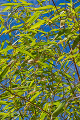 Flaming June (Barrie T) Tags: home garden london bamboo bluesky