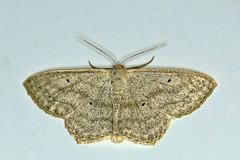 Zwartstipspanner - Scopula nigropunctata - Sub-angled wave (Theo Groen) Tags: zwartstipspanner scopulanigropunctata subangledwave moth nachtvlinder