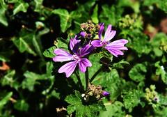 DSC_0243 (PeaTJay) Tags: nikond750 reading lowerearley berkshire macro micro closeups gardens outdoors nature flora fauna plants flowers