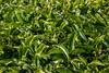 malaysia-6711-2 (ericvdb) Tags: cameronhighlands highlands teaplantation plantation malaysia
