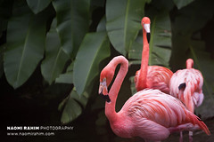 Flamingo - Jurong Bird Park, Singapore (Naomi Rahim (thanks for 4 million visits)) Tags: singapore 2017 bird flamingo flamingos birds travelphotography travel nikond7200 nikon asia jurongbirdpark jurongeast jurong leaves green pink sanctuary zoo tropical