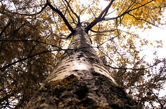 Birch (michaeldantesalazar) Tags: birch nature canada tree trees cabin forest manitoba forests woods wood woodland fall autumn bark
