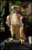 Fortune, Red Tail Buzzard (kcm76) Tags: walthamabbey codafalconry birds 2018 olympuse620