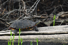 Painted Turtle (era.ph) Tags: turtle painted paint color colors chill nature canada chilenos log lake life wildlife wild beautiful instagram feel feeling natural natura amor love tortuga animalia animales asombroso awesome incredible fotografos fotografia naturaleza indomito untamed ontario muskoka algonquin outdoors leavenotrace clean forest relax relaxation soothing