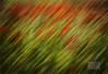 Poppy Art.. (ziggystardust111) Tags: poppies poppyfield romneymarsh artistic art impressionist
