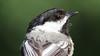 black-capped Chickadee (blazer8696) Tags: 2018 brookfield ct connecticut ecw obtusehill t2018 tabledeck usa unitedstates atricapillus bcch bird black blackcapped blackcappedchickadee capped chickadee img4641 paridae passeriformes poeatr poecile poecileatricapillus songbird