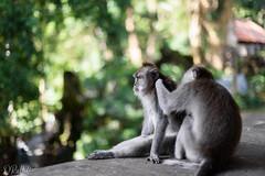 Grooming (D. R. Hill Photography) Tags: macaque monkey longtailedmacaque crabeatingmacaque balineselongtailedmonkey macacafascicularis animal wildlife wild grooming socialgrooming ubud ubudmonkeyforest monkeyforest bali balinese indonesia travel asia southeastasia nikon nikond750 nikon50mmf14g nikon50mm 50mm primelens fixedfocallength bokeh depthoffield