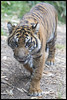 Here Kitty, Kitty! (KRIV Photos) Tags: rakan sandiego sandiegozoosafaripark sumatrantiger tiger animal