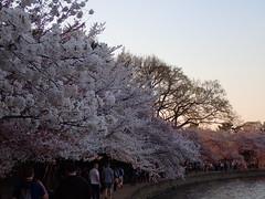 P3242917 (Dr. Fieldgood) Tags: washington dc national cherry blossom festival spring flowers mall