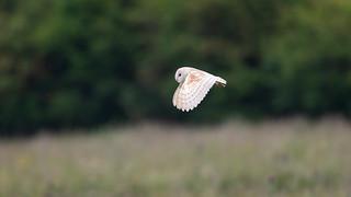 Barn Owl - June morning