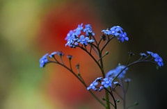 May in the Garden (Mark Wordy) Tags: mygarden may spring mysotis blue flowers