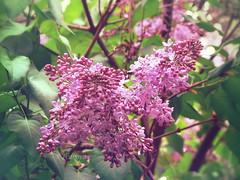 Lilac (R_Ivanova) Tags: nature flower flowers lilac spring outdoor colors color plant pink tree textured garden sony rivanova риванова цветя люляк растения природа пролет цвят цветове